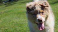 Nous connaissions les chiens guides d'aveugles mais saviez-vous qu'il existait des chiens écouteurs à destination …